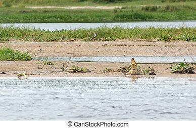 Nile crocodile waterside - a Nile crocodile riverside at the...