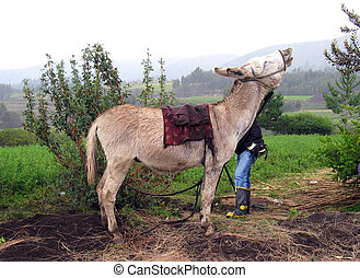 braying in the highlands of Ecuador - a donkey standing and...