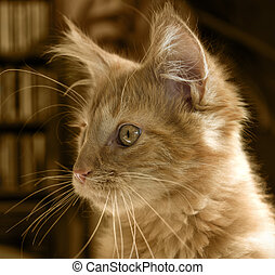 Maine Coon kitten portrait - portrait of a red tabby Maine...