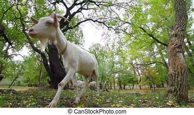 Curious Goat - Curious goat looking at the camera, possibly...