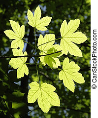 ornamental leaves sunny floodlit - translucent green leaves...