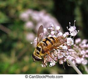hover fly on pastel flower - outdoor shot including a hover...