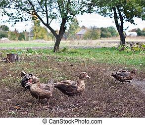 Ducks walking down poultry yard