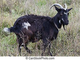 chèvre, frôlé