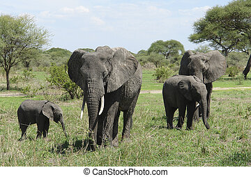 group of Elephants in Africa