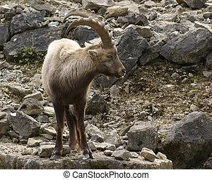 Alpine Ibex in stony back