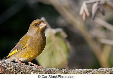 Greenfinch in the winter