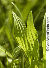 ribwort plantain leaves - sunny illuminated ribwort plantain...