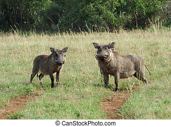 Warthogs in sunny ambiance