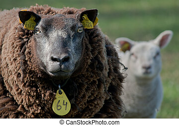 Sheep -  Black an white together