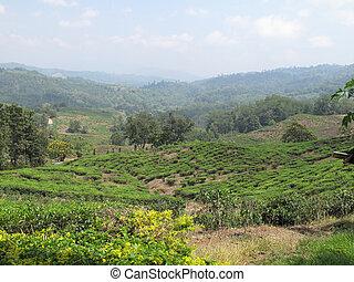 Sabah Tea Gardens - Tea growing in Sabah, Malaysia in the...