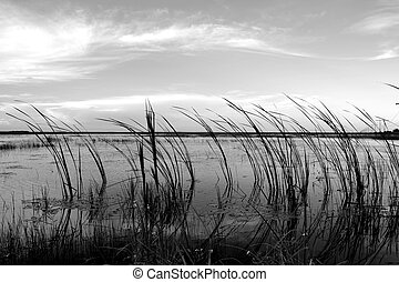 Sawgrass and Clouds - Image of curved sawgrass and whispy...