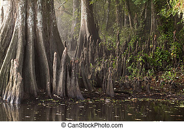 Cypress trees and knees. - Cypress trees and cypress knees...