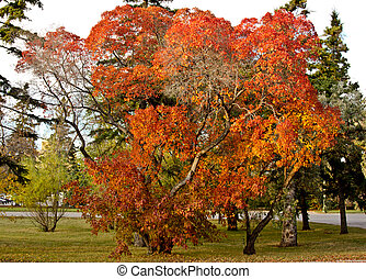Autumn in Regina - Trees with multi colored leaves in a park...