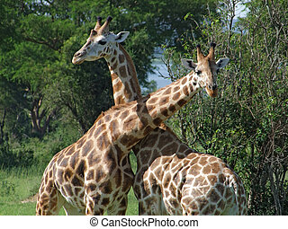 Giraffes at fight in Africa - sunny detail of some...