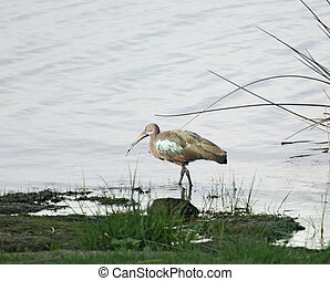 waterside scenery with Hadada Ibis - waterside scenery...