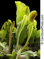 carnivorous plants - pitcher plants and venus flytrap in...