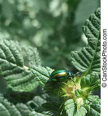 iridescent flower chafer