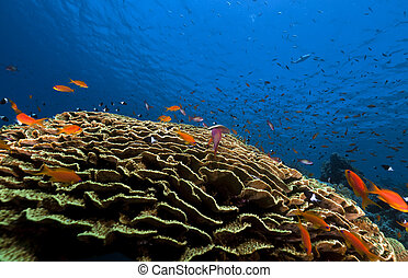 Leaf coral and tropical underwater life in the Red Sea