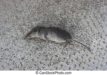 dead Shrew - dead Common Shrew or Eurasian Shrew or Sorex...