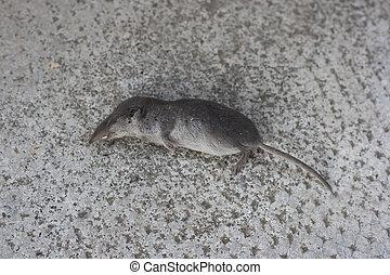 dead Shrew - dead Common Shrew or Eurasian Shrew or Sorex...