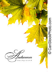 autumn background maple leaves - the real autumnal maple...