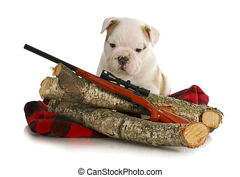 hunting dog - english bulldog puppy sitting behind wooden...