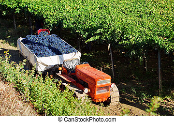 Harvesting red grapes Montepulciano in vineyards of Abruzzo,...