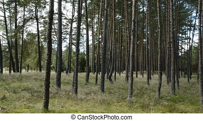 reserve pine forest - summer end in the beautiful reserve...