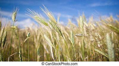 Ears of almost ripe barley growing in a farm field