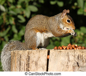 Grey Squirrel - Portrait of a Grey Squirrel on a tree stump...