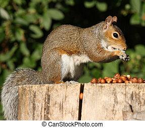 Grey Squirrel - Portrait of a Grey Squirrel on a tree stump...