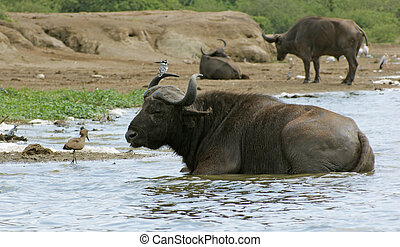 African Buffalos waterside in Uganda - African Buffalos in...