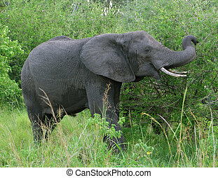 Elephant in Uganda - a elephant and green vegetation in...