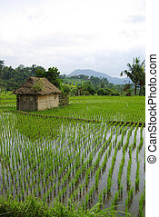 Watered ricefield with a little hut
