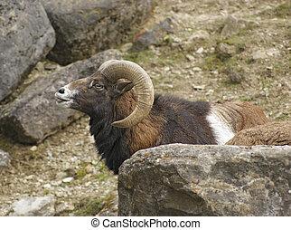 mouflon portrait in stony back