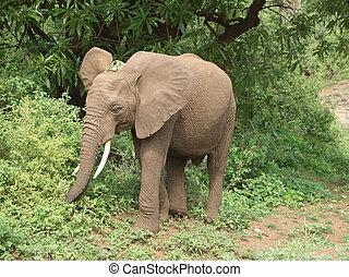 tansania, elefant