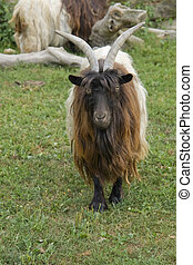 Valais Blackneck - frontal shot of a goat species named...