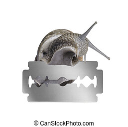 Grapevine snail and razor blade - studio photography of a...