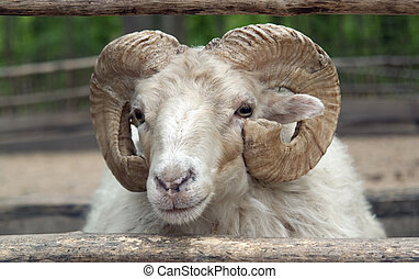 domestic sheep - portrait of a domestic sheep in...