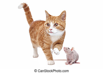 Cat and Rat - A red Kitten and a naked rat in front of a...