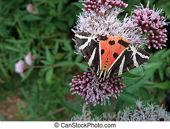 Jersey Tiger on flower - a butterfly named Jersey Tiger on a...