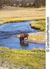 Yellowstone national park - The bison drinks water in...