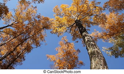 Landscape autumn 005 - The Autumn wood Forest and Sky