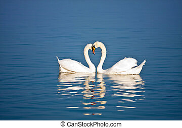 Love  - Beautiful pair of swans in love on blue water