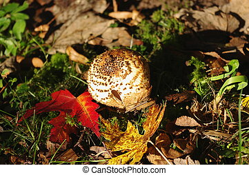 Freckled Dapperling Lepiota aspera and colorful leaves