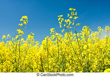 Colza flowers beautiful with blue sky of background