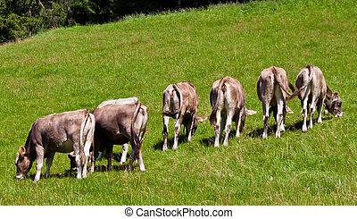 cows in a pasture on the mountain - several cows graze in a...