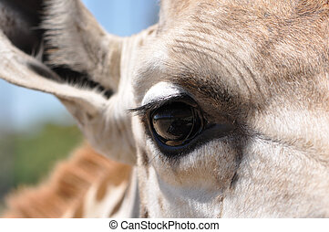 Closeup of Giraffe Eye - Macro of an adult giraffe (Giraffa...