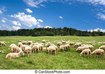 Um, lote, sheep, bonito, verde, prado